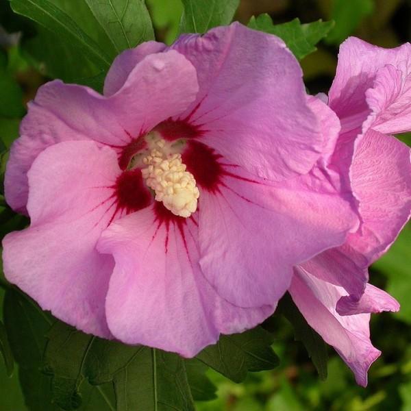 Roseneibisch Woodbridge Hibiscus syriacus pinke offene Blüte ca. 40-60 cm Pflanze im 3 Liter Topf