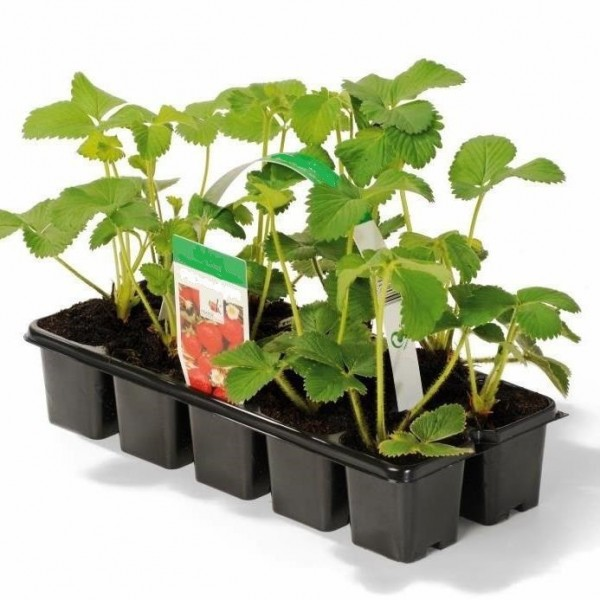 Erdbeere Sorte Mieze Schindler, Erdbeerpflanze mit Waldbeerenaroma späte Sorte, 10 er Tray