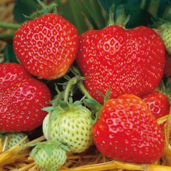 Erdbeere Honeoye - frühe Reifezeit aromatisch und hoher Ertrag - 10 Erdbeerpflanzen