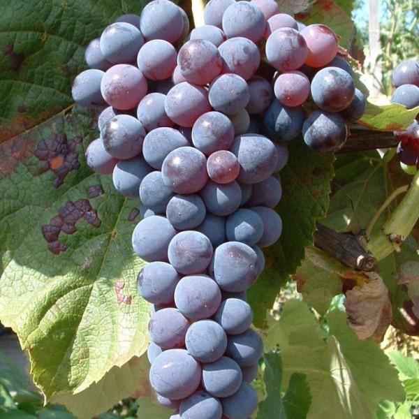 Venus dunkelblaue kernlose pilzfeste Weinrebe süße Tafeltraube im 2-3 Liter Topf