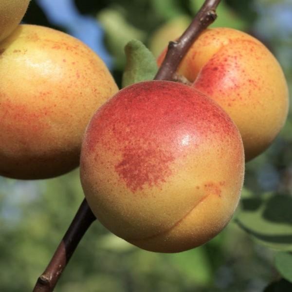 Aprikosenpfirsich Pfirsicose®