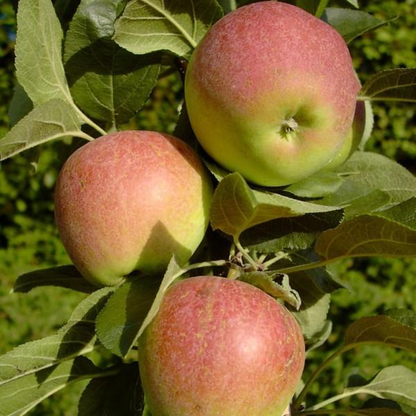 Säulenapfel StarlineⓇ Golden GateⓈ Apfel feinsäuerlich und fest 150-170 cm 10 L Topf Unterlage: M9