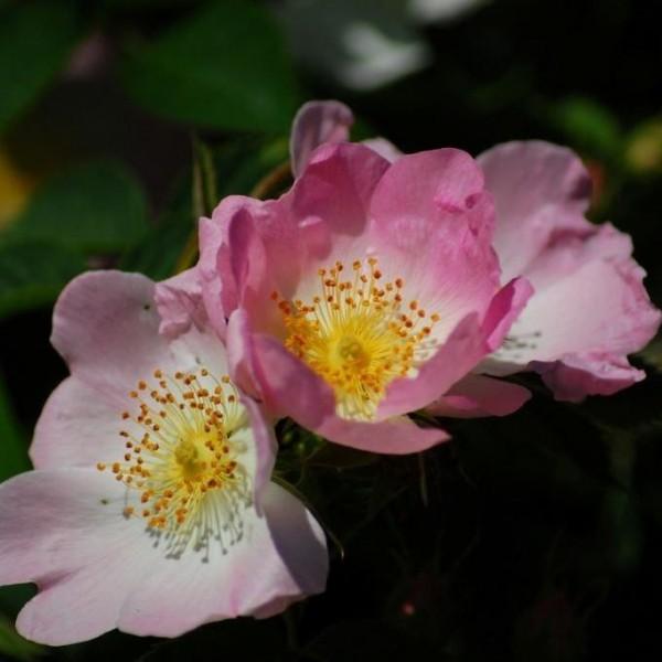 hundsrose rosa canina heimische hagebuttenrose rosa vogelschutz insekten bienen n hrgeh lz 40. Black Bedroom Furniture Sets. Home Design Ideas