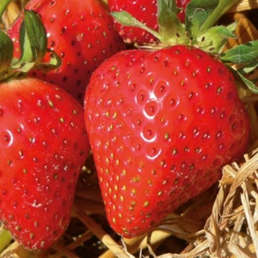 Hänge-Erdbeere, Erdbeere für Balkonkasten und Pflanzenampel, lange Erntezeit, 5 Pflanzen