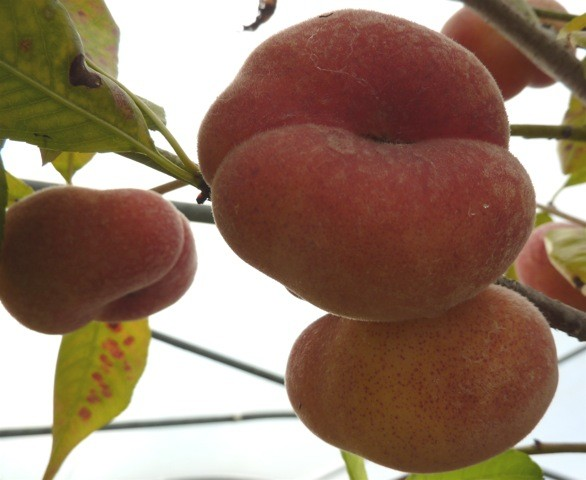 Pfirsichbaum Sandwich Pfirsich Plattpfirsich Tellerpfirsich Buschbaum kräftig 120-150 cm 7,5 L Topf