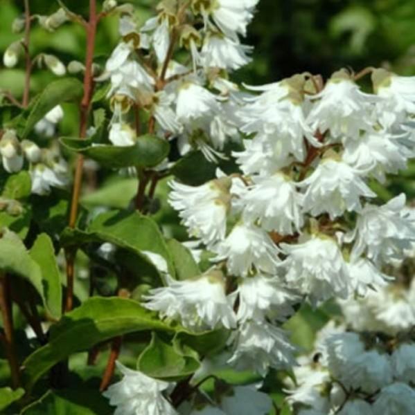 Sternchenstrauch, Deutzia magnifica, weiße Blüte, ca. 20-40 cm Pflanze im kleinen Rechtecktopf