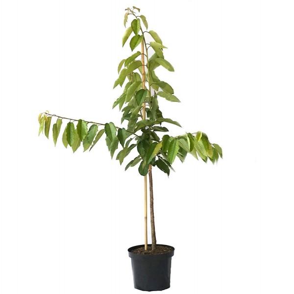 Kirschbaum Große Schwarze Knorpelkirsche gut pflückbar Buschbaum 120-150 cm 10 Liter Topf auf F12/I