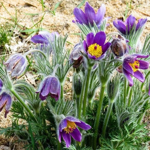 Kuhschelle, Pulsatilla vulgaris Blaue Glocke, Steingartenpflanze, Staude im 0,5 Liter Topf