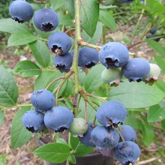 Kulturheidelbeere Brigitta Blue, Heidelbeere, Blaubeere mit großen Früchten, 30-40 cm, im 3,5 L Topf