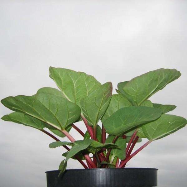 Rhabarber Pflanze Canada Red, kräftig rotstielige Sorte, muss nicht geschält werden, im 2 Liter Topf