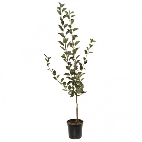 Weißer Klarapfel, Sommerapfel Buschbaum Apfelbaum 120 - 150 cm im 7,5 Liter Topf, Unterlage: M 11