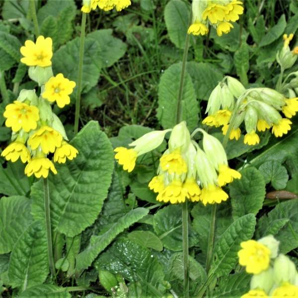 Echte Schlüsselblume Primula veris goldgelbe Blüte im April-Mai 15-20 cm hoch Staude im 0,5 L Topf
