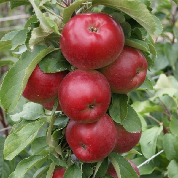 Säulenapfel 1a-plant Jarle (S) - Der Geschmackssieger!