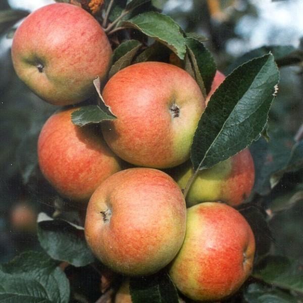 Apfelbaum Freiherr von Berlepsch Winterapfel Hochstamm 180 cm Stamm wurzelnackt Unterlage Sämling
