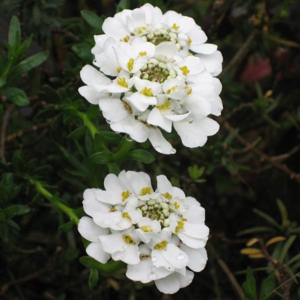 Staude Schleifenblume Iberis sempervirens Zwergschneeflocke weiße Blüten im April im 0,5 Liter Topf