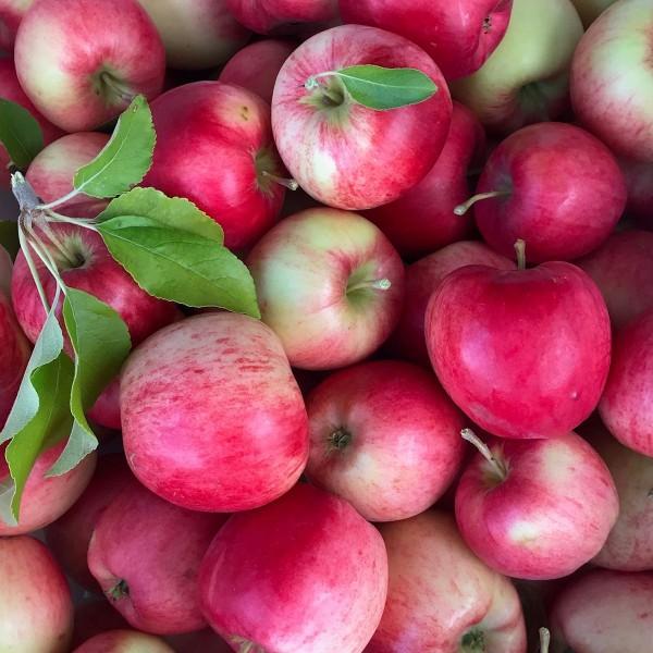 Apfelbaum Nela Ⓢ knackiger süßer saftiger Sommerapfel Halbstamm 170-200 cm 10 Liter Topf M7