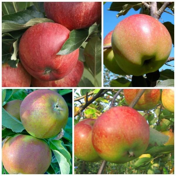 Trio Apfelbaum S3 mit den Sorten Gala Cox Orange Elstar Topaz Ⓢ im 7,5 Liter Topf Unterlage M9