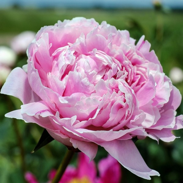 Pfingstrose Sarah Bernhardt hellrosa gefüllte Blüte - Paeonia lactiflora