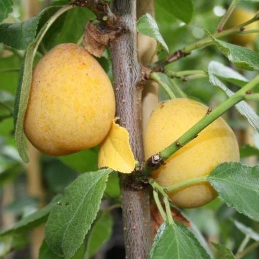 Aprimira Aprikosenmirabelle als Säulenbaum ca. 100-120 cm 7,5 Liter Topf veredelt auf INRA 2