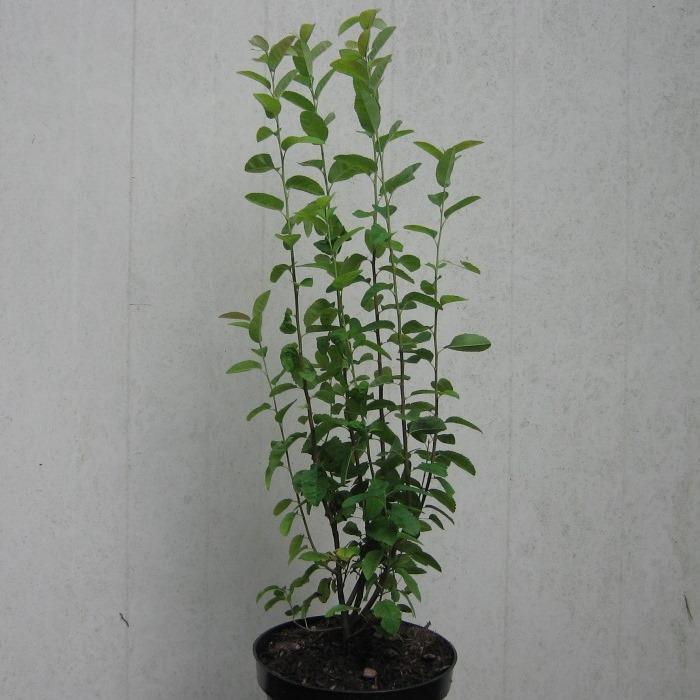 obelisk s ulenfelsenbirne felsenbirne amelanchier alnifolia schlank wachsende pflanze 3 liter. Black Bedroom Furniture Sets. Home Design Ideas
