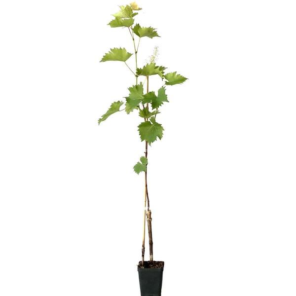 Phoenix robuste Weinrebe helle Weintraube kernarm feines Muskataroma ca. 60-90 cm im kleinen Topf