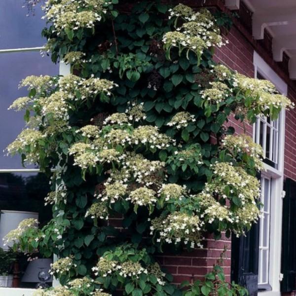 Kletterhortensie, Hydrangea petiolaris, große weiße Blüten, ca. 30 cm hoch, im 1,5 Liter Topf
