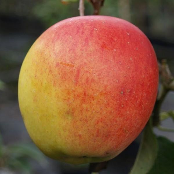 Apfelbaum Rebella mehrfach resistenter Herbstapfel Buschbaum ca. 120-150 cm 9,5 Liter Topf MM 111