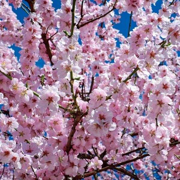 Frühe Zierkirsche Accolade - Prunus subhirtella