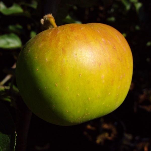 Apfelbaum Jakob Lebel Herbstapfel alte Sorte Buschbaum 120-150 cm 9,5 Liter Topf Unterlage MM111