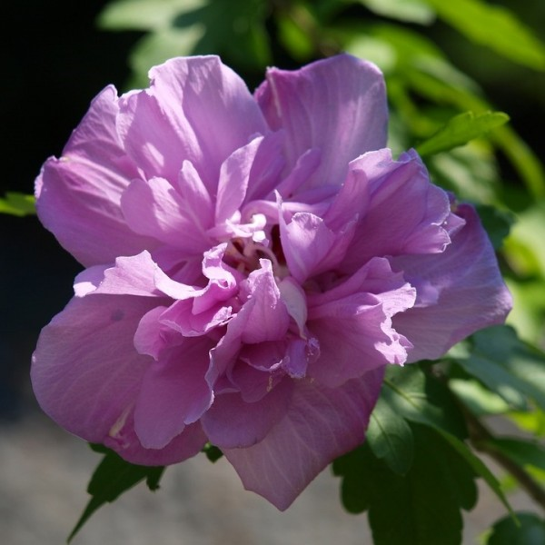 Roseneibisch Gartenhibiscus Eibisch syriacus Ardens helllila/fliederfarben gefüllt  40-60 cm