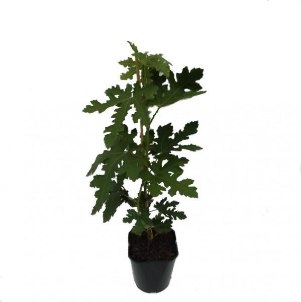 NEU! Feigenbaum Brunswick frühreifende Feige auffallende Belaubung frostharte Pflanze 5 Liter Topf