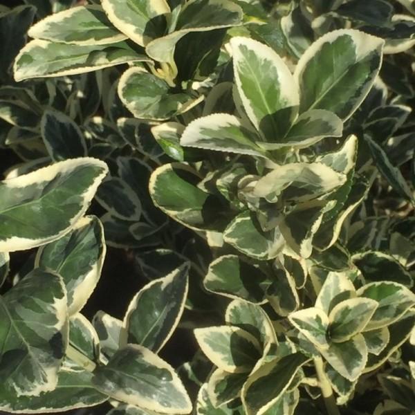 Immergrüner Spindelstrauch japanischer Spindelstrauch Euonymus Bravo