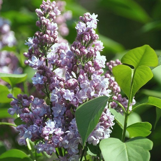 Flieder President Grevy Syringa vulgaris hellblaue gefüllte Blüte ca. 60-80 cm Pflanze im 5 L Topf