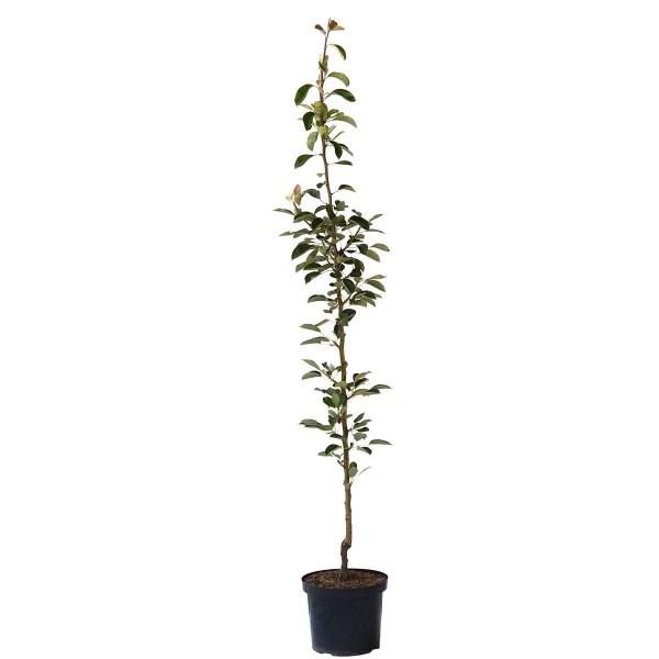 Säulenbirne Condora Syn. Condo Birnenbaum als Säulenobst 140-175 cm im 10 Liter Topf auf Quitte A