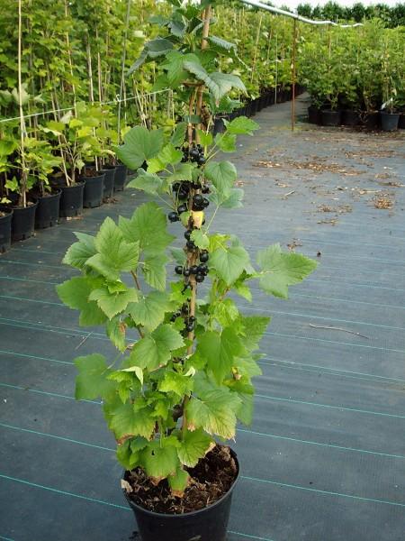 titania schwarze johannisbeere in s ulenform s ule ca 80 100 cm pflanze im 3 liter topf. Black Bedroom Furniture Sets. Home Design Ideas