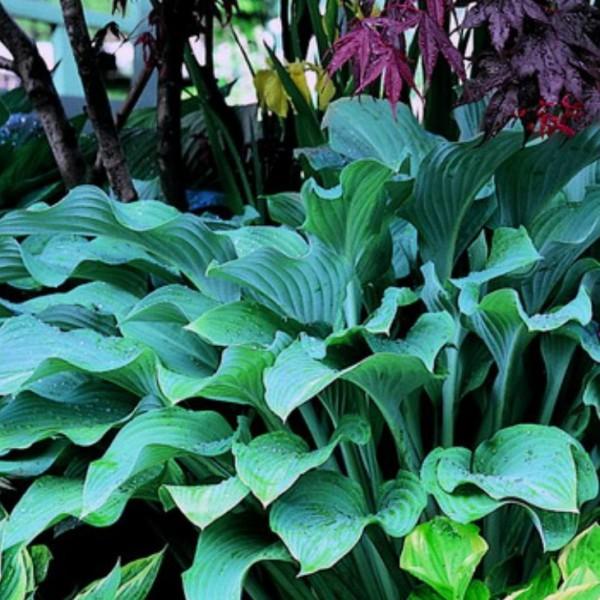 Funkie, Hosta sieboldiana Elegans, weißlich violett blühend, Blattschmuck, Staude im 1 LiterTopf