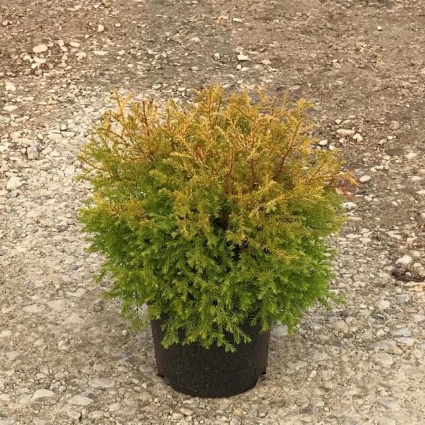 Lebensbaum Rheingold Thuja occidentalis Rheingold 35 - 40 cm im Topf