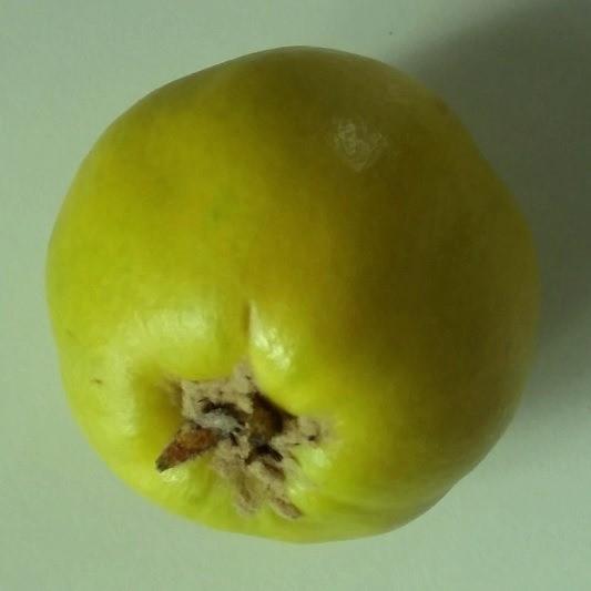 Quittenbirne Pyronia veitchii