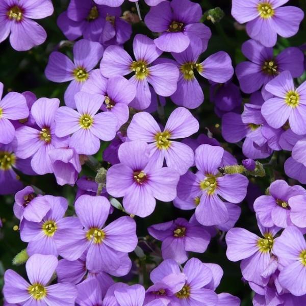 Blaukissen Aubrieta Hürth hellblaue Blüte März - Mai Steingarten Polsterstaude 10 cm im Rechtecktopf