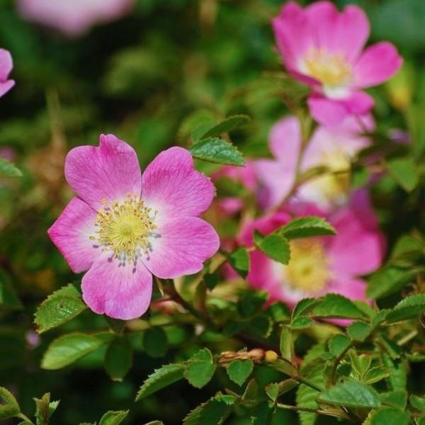 Weinrose, Schottische Zaunrose, Rosa rubiginosa, rosa Blüte, Apfelduft Heckenrose Bienenweide