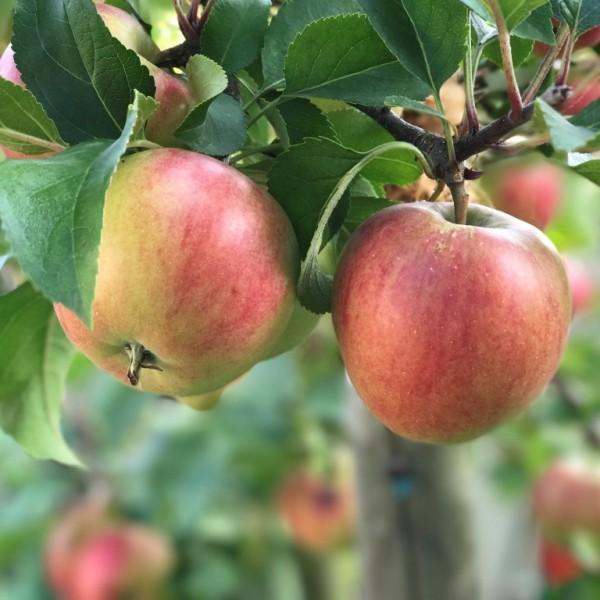 Rajka (S) Herbstapfel