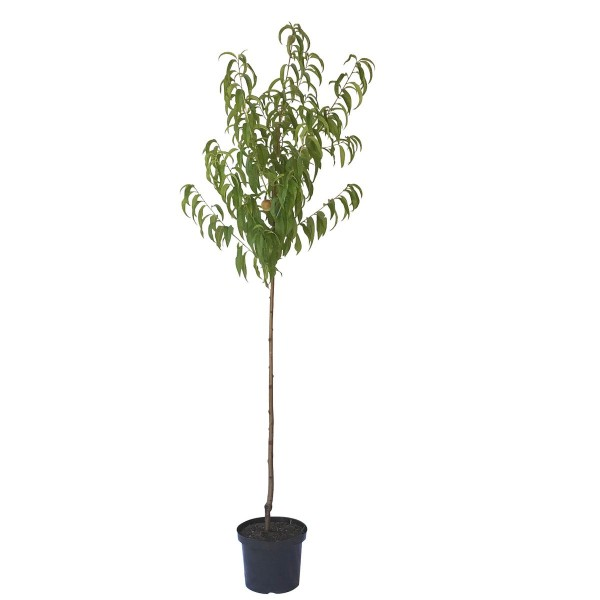 Pfirsichbaum Kernechter vom Vorgebirge, Pfirsich Halbstamm 170-200 cm 10 Liter Topf, St. Julien A