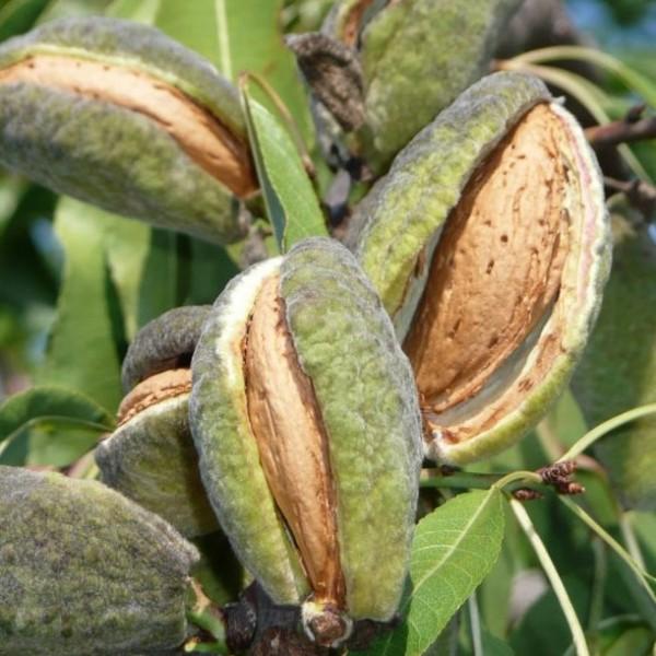 Mandelbaum Palatina ® selbstfruchtbar