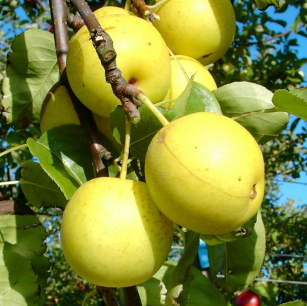 Nashi Naddel Pear Asienbirne Apfelbirne Buschbaum 150-170 cm 10 Liter Topf Unterlage Sämling