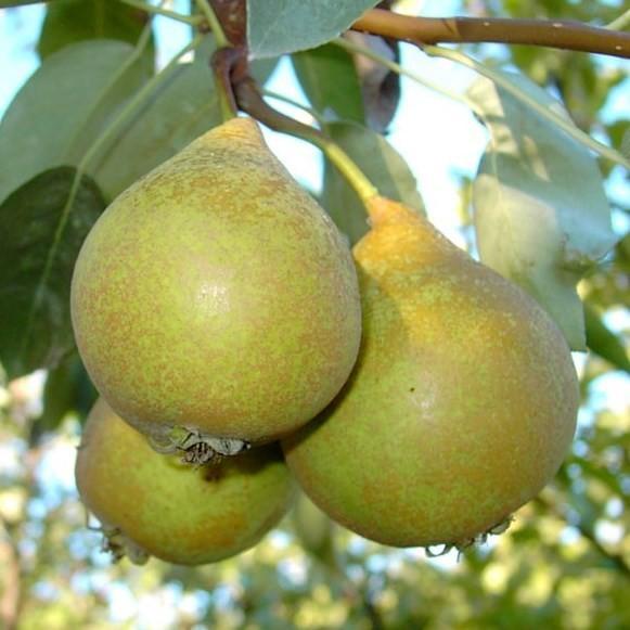 Gute Graue Sommerbirne Birne Hochstamm ca. 180 cm Stamm wurzelnackter Birnenbaum Unterlage Sämling