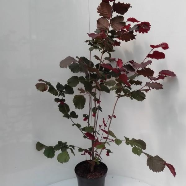Haselnuss Maxima purpurea, sehr schönes rotes Laub, als dreijähriger Strauch, ca. 120-150 cm