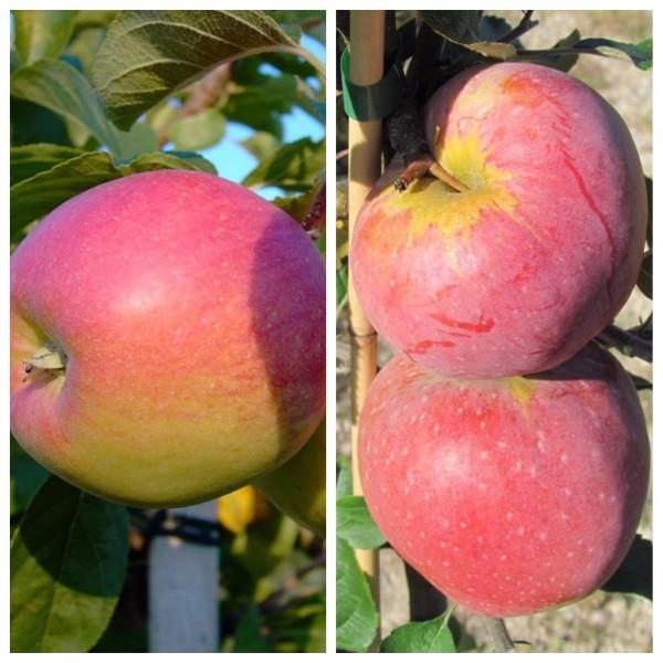 Duo Apfelbaum Reglindis und Florina 2 Sortenapfelbaum im 9,5 Liter Topf Veredelungsunterlage MM111