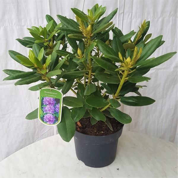 Alpenrose Grandiflorum Rhododendron Catawbiense Grandiflorum  50+ cm im 4 Liter Topf