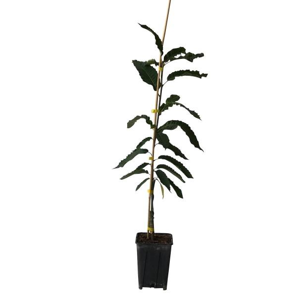 Esskastanienbaum Ecker 1 selbstfruchtbare veredelte Esskastanie Marone 60-80 cm 2,8 Liter Topf