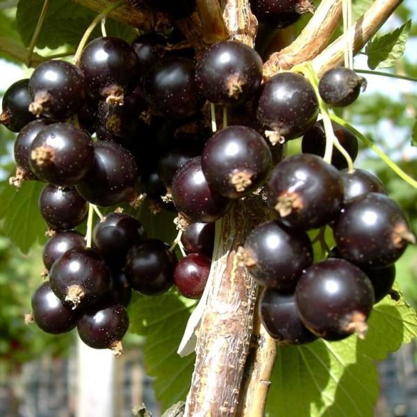 Black Diamond große schwarze aromatische Johannisbeere Busch
